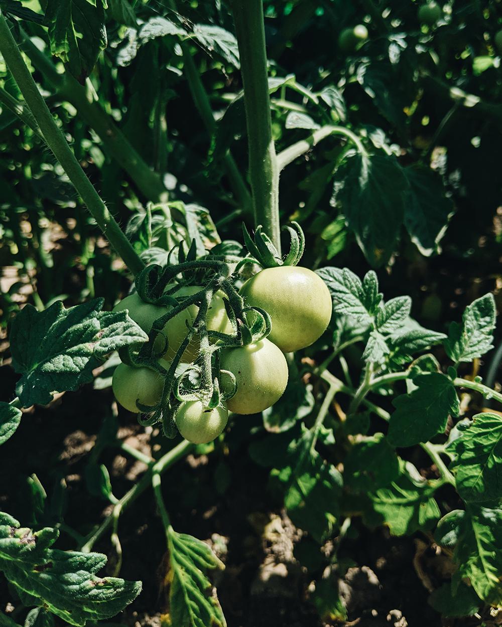 Tomatenstaude |we love handmade
